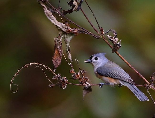 oct272016tuftedtitmousewithseed