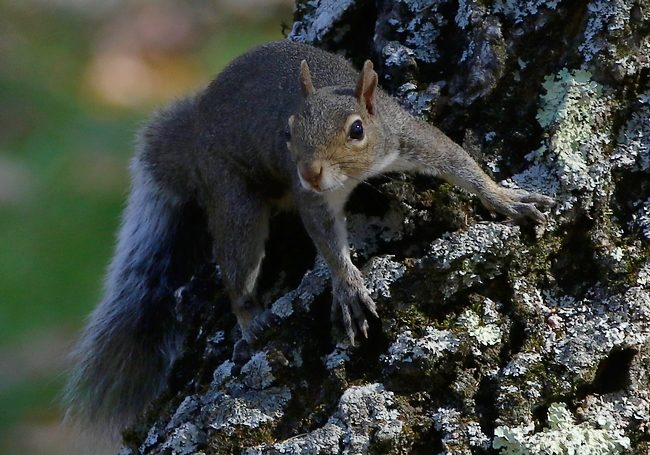 oct292016squirrelontree