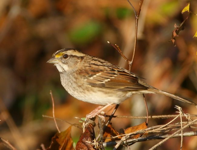 oct292016whitethroatedsparrow