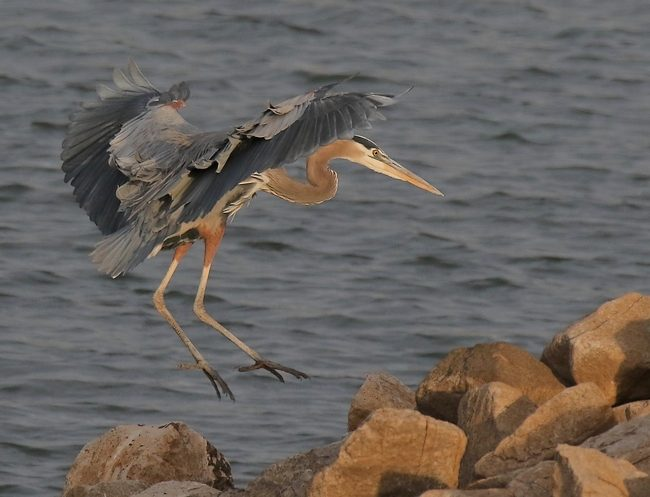 nov232016greatblueheronlanding
