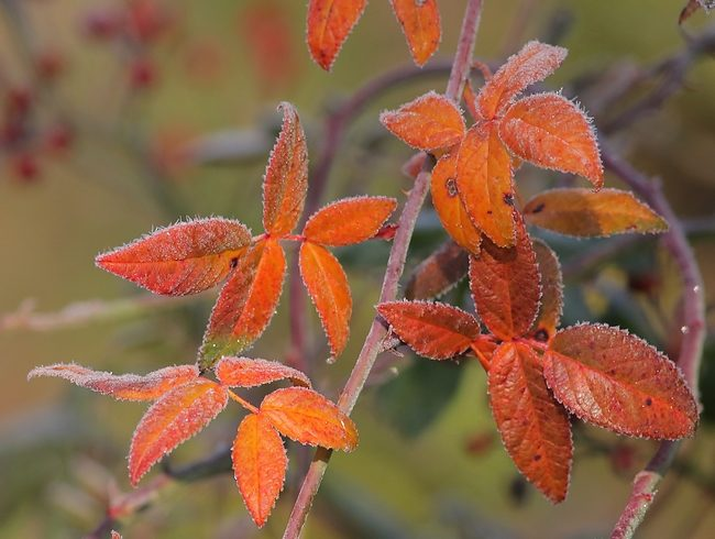 dec022016frostyleaves2