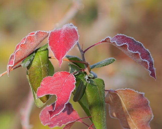 dec022016frostyleaves3