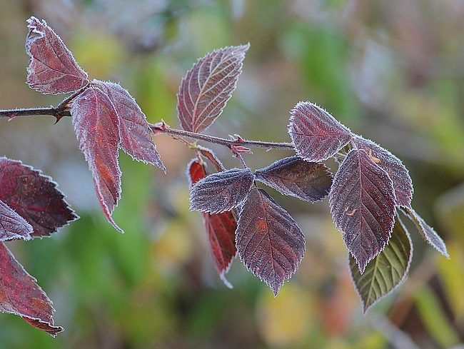 dec022016frostyleaves6
